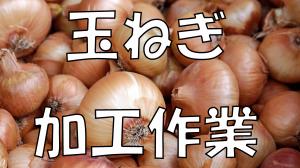 玉ねぎ作業